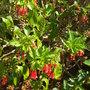 Iochroma fuchsioides - Red Iochroma (Iochroma fuchsioides - Red Iochroma)