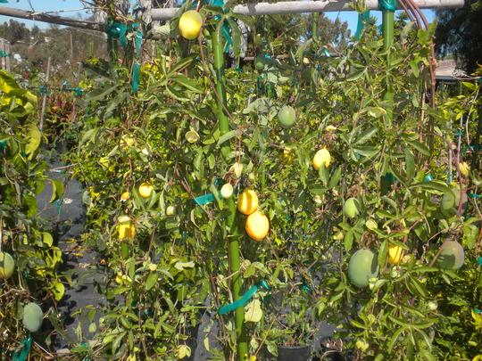 Passiflora edulis - Passion Fruit (Passiflora edulis - Passion Fruit)