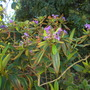 Tibouchina granulosa - Purple Glory Tree (Tibouchina granulosa - Purple Glory Tree)
