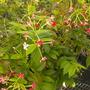 Quisqualis indica - Rangoon Creeper (Quisqualis indica - Rangoon Creeper)