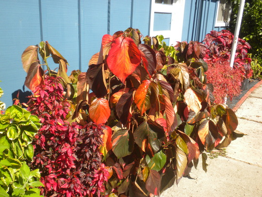 Acalypha wilkinsiana varieties - Copper Leaf Plants (Acalypha wilkinsiana)