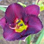 Hemerocallis - 'Dark Forces' (Hemerocallis)