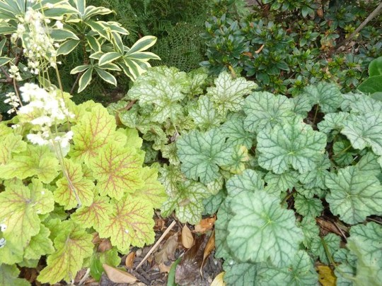 Heucheras `Electra` Ginger Ale` and `Silver Scrolls`