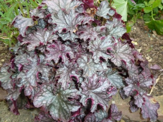 Heuchera `Blackberry Jam`