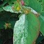 Hypericum_androsaenum_mrs_gladys_brabazon_foliage