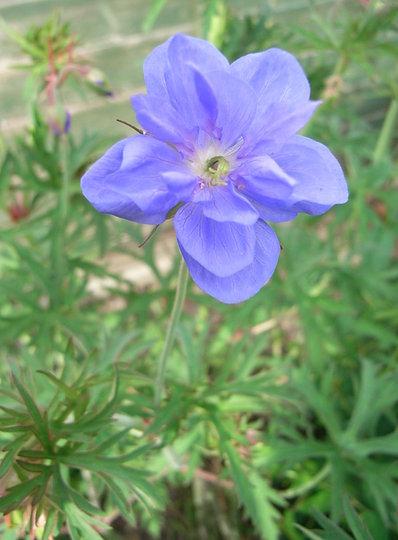 Geranium pratense 'Plenum Caeruleum'