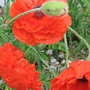 after the rain (Papaver orientale (Oriental poppy))