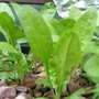 Hydroponically grown Perpetual Spinach.