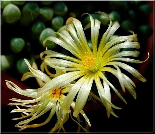 Fleurs de lithops flowers