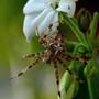 Epeire diadème ou porte croix (Araneus diadematus)