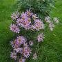 Chrysanthemum_rubellum_clara_curtis_2