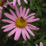 Chrysanthemum rubellum Clara Curtis