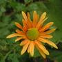 Chrysanthemum_rubellum_mary_stoker_