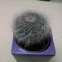 Mammillaria   (Mammillaria  hahniana)