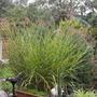 Zebra grass......best its been ever............