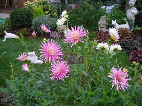 Dahlias still going strong....