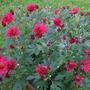 Chrysanthemum_red