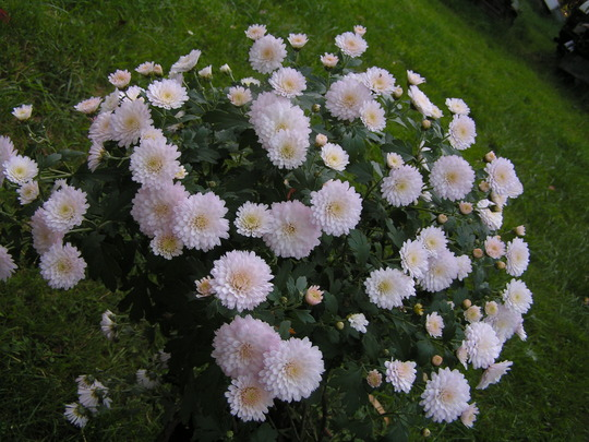 Chrysanthemum very pale pink