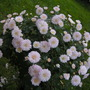 Chrysanthemum very pale pink