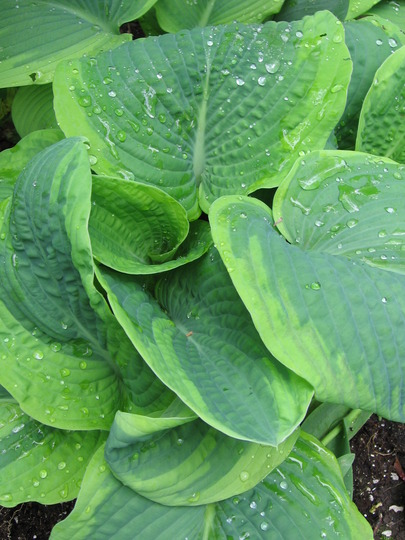 hosta Frances Williams (Hosta sieboldiana)