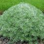 silver mound (Artemisia schmidtiana (Mugwort))