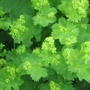 ladies mantle (Alchemilla mollis (Lady&#x27;s mantle))