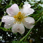 translucence (Rosa canina (Briar))