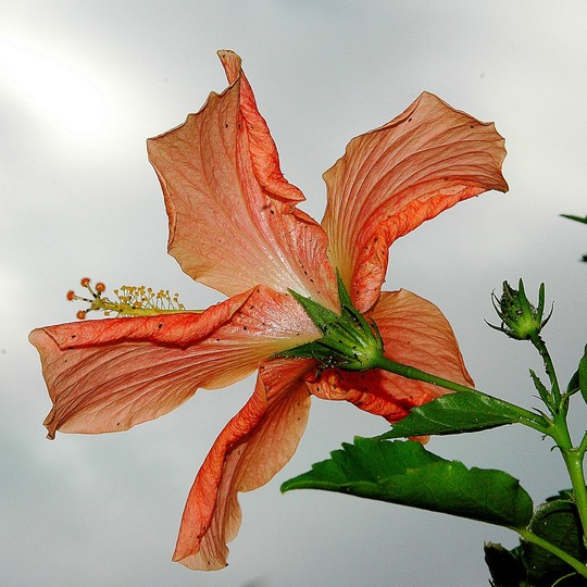 Back from hibiscus...L'envers de l'hibiscus
