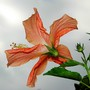 Back from hibiscus...L'envers de l'hibiscus