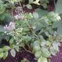 Blueberry (Vaccinium corymbosum (Blueberry))