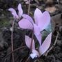 Cyclamen cilicium - 2011 (Cyclamen cilicium)