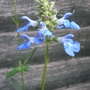 Salvia uliginosa - 2011 (Salvia uliginosa)