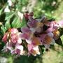 Abelia schumannii (Abelia schumannii)
