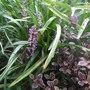 Liriope_and_lophomyrtus