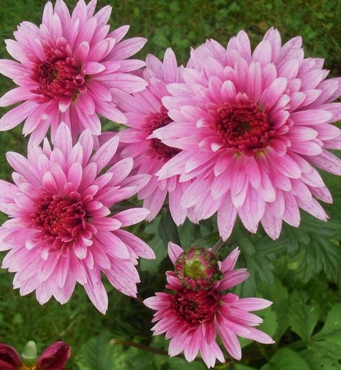 Chrysanthemum Beppie Purple..