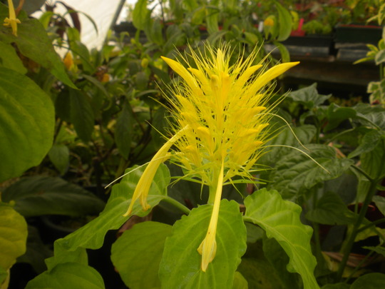 Schaueria flavicoma - Golden Plume (Schaueria flavicoma - Golden Plume)