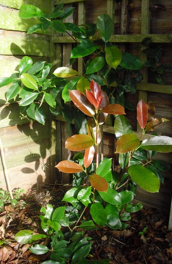 Photinia x fraseri  'Red Robin'    Evergreen (Photinia x Fraseri Red Robin)