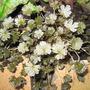 geranium nigrescens
