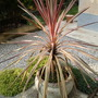 MY NEW CORDYLINE 2011 NOW I'VE GOT IT