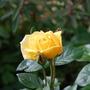 Rose_-_B_Q__.jpg