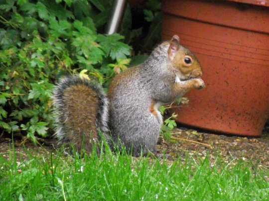 Grey Squirrel ( Sciurus carolinensis)