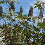 Ricinus communis - Castor Bean Tree Seeds (Ricinus communis - Castor Bean Tree)