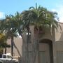 Phoenix reclinata - Senegal Date Palm (Phoenix reclinata - Senegal Date Palm)