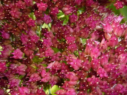 sedum spectabile (Sedum spectabile (Ice plant))