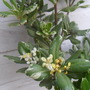 Pittosporum Tobira variegata