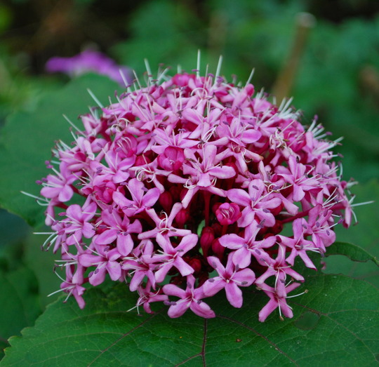 Clerodendrum bungei......... (Clerodendrum trichotomum (Clerodendrum))