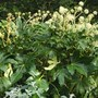 Fatsia japonica (Japanese Aralia) great year for flowering  (Fatsia japonica (Japanese aralia))