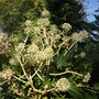 Fatsia japonica (Japanese Aralia) close up of the flowers (Fatsia japonica (Japanese aralia))