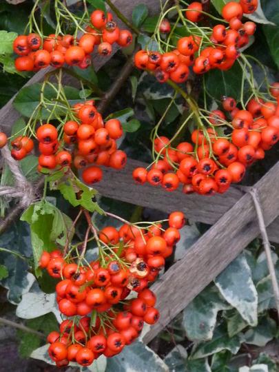 Pyracantha- Firethorn (Pyracantha angustifolia (Fire Thorn))