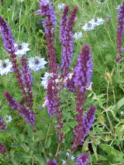 Salvia and Nigella. (Salvia nemerosa)